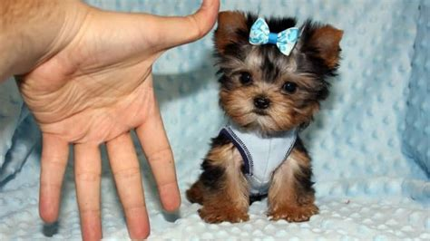 teacup yorkie collars teacup yorkie puppy the mini terrier yorkieroom