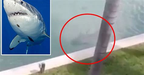 'There's a shark in my back garden': Footage leaves resident terrified after giant predator