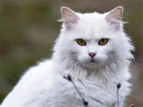 Sho Kucing Paling Murah harga kucing anggora termurah dan cara perawatannya