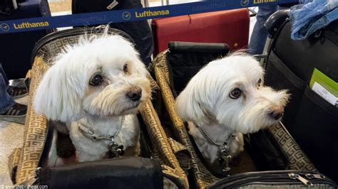 flying with dogs flying with pets airlines pet policy