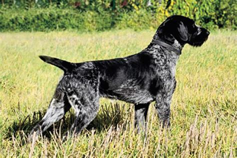 how to gun dogs why you should consider german breeds for your next gun gun magazine