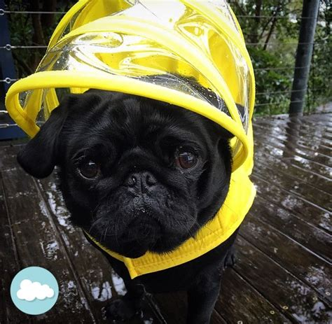 pug coat colors 1000 images about push pushi pups on parks adoption and yellow raincoat