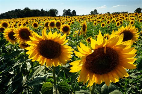 sunflower fields 1000 images about sunflowers on pinterest sunflowers