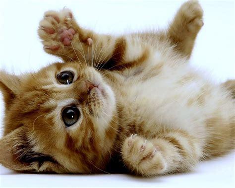kitten wallpaper for pc 1280x1024 super cute kitten desktop pc and mac wallpaper