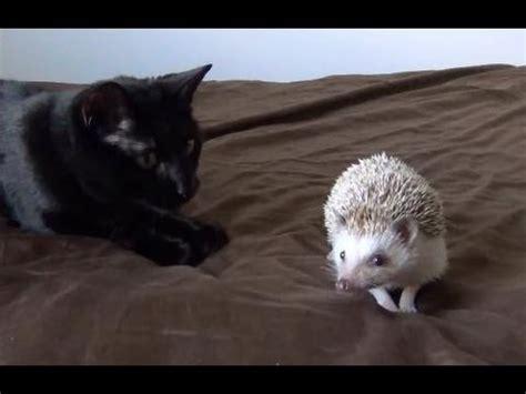 bath time for 9 week pygmy hedgehogs cat and hedgehog best friends doovi