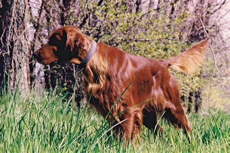irish setter gun dog breed profile the irish setter gun dog magazine
