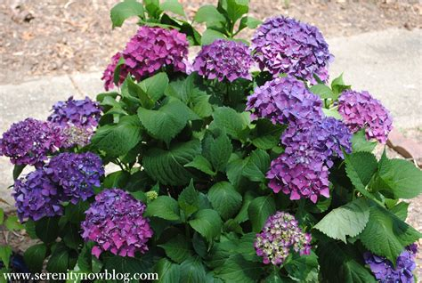 Hydrangea Planter by Serenity Now How To Get A Hydrangea Plant To Bloom