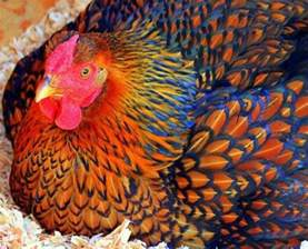 wyandotte chicken colors golden laced wyandotte chicken scratch chicken