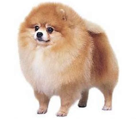 pomeranian span puppy education breed section pomeranian