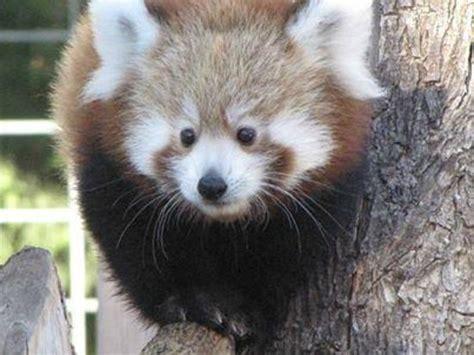 foto de garden city kansas panda cub tripadvisor
