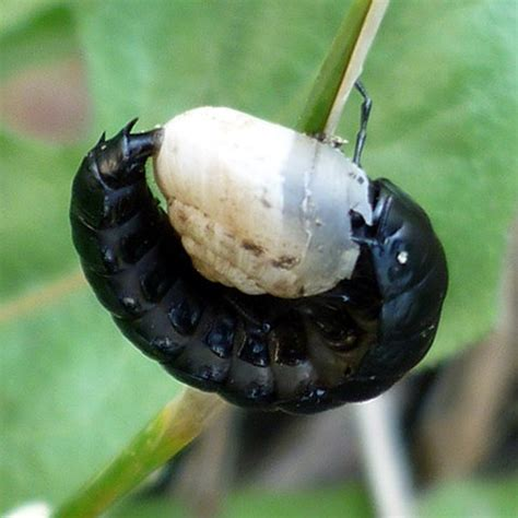 Snail Larvae Pictures