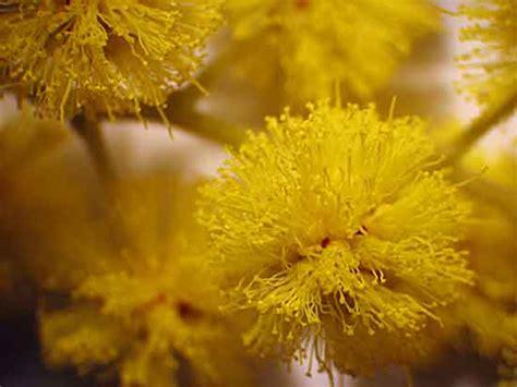 pianta mimosa in vaso come coltivare un albero di mimosa in vaso piante in forma