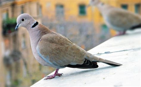 grey dove with black ring around neck ringneck dove facts pet care behavior diet price pictures singing wings aviary