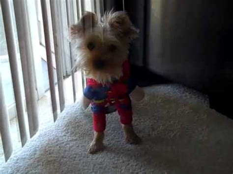 yorkie superman costume yorkie in costume