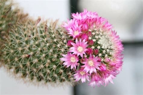 imagenes unicas y bellas 191 dan flores los cactus 161 hoy te resolvemos la duda