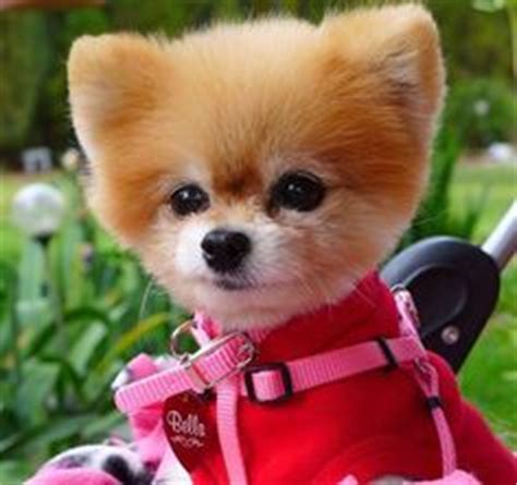 pomeranian rescue bc 1000 images about pomeranian on pomeranians pomeranian rescue and