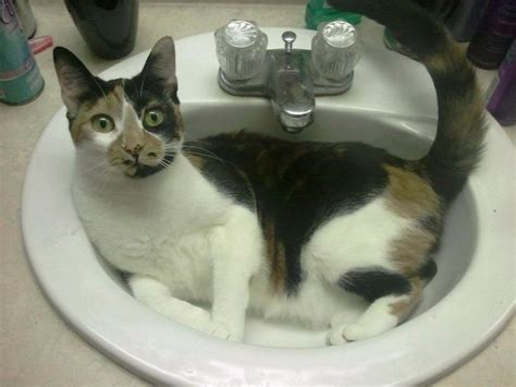 Cat In A Sink to da loos more cats in sinks