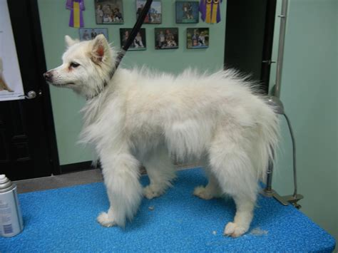 samoyed mixed with pomeranian miniature pomeranian husky mix breeds picture