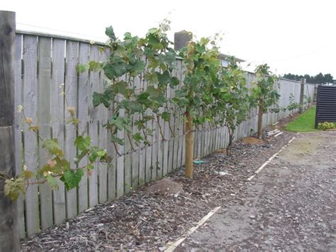 how to plant grapes in your backyard how to grow grapes archives page 4 of 11 free grape
