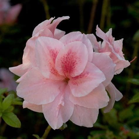 encore azalea 1 gal autumn 80641 the home depot