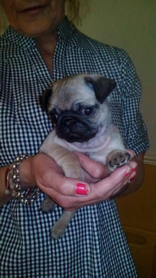 pugs for sale in glasgow pug pups glasgow glasgow lanarkshire pets4homes
