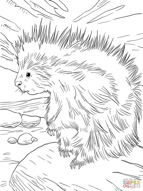 cute north american porcupine coloring online super coloring