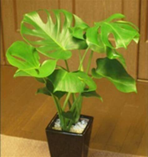 pcs monstera deliciosa biji berbagai tanaman bonsai