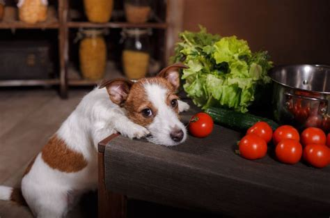 tomatoes for dogs can dogs eat tomatoes the healthy fruit for your pets