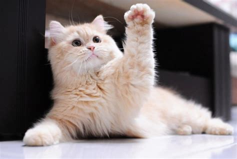 Waving Cat by An Awesome Gallery Of Cats Waving