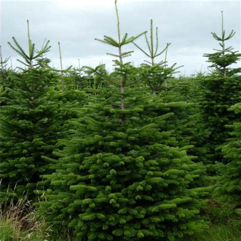 nordman fir christmas trees freshly cut scottish christmas