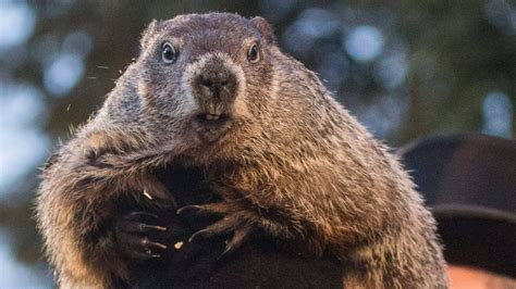 groundhog day canada groundhog day consensus foresees more winter canada
