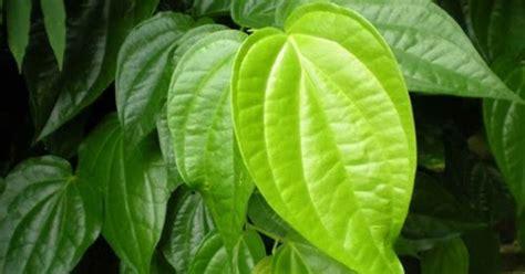khasiat daun sirih wedang angkringan jogja angkringan