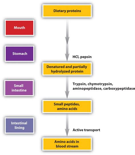 protein absorption biology ch digestion absorption and assimilation of