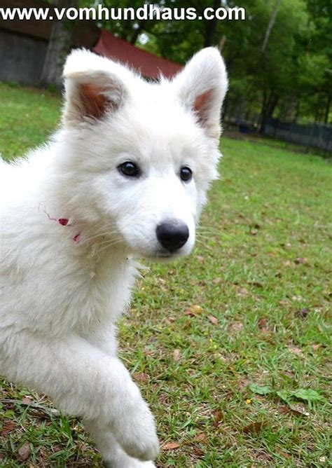 white german shepherd puppies for sale in florida berger blanc suisse white swiss shepherd puppies and for sale ta fl