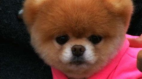 is boo the a pomeranian dogs that look like boo memes