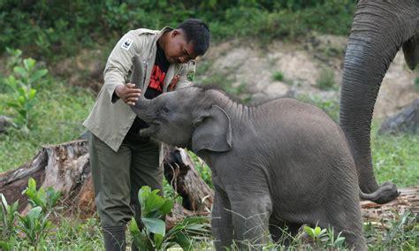 Kartu Telepon Indonesia Wwf World Wildlife Fund sumatran elephant species wwf