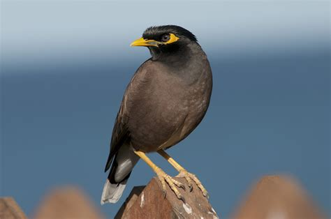 mynah bird location appearance breeding pet facts etc