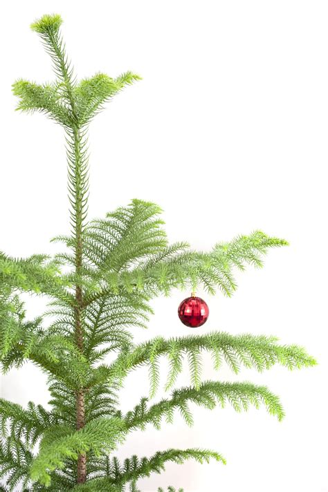 photo of evergreen pine christmas tree with a red bauble