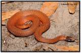 copper colored snake florida bellied snake storeria occipitomaculata