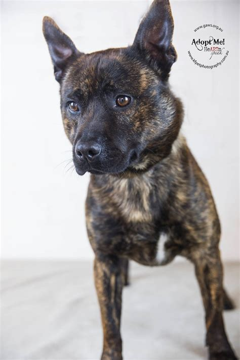 staffy x pomeranian eddie id28674 small pomeranian x staffy mix in vic petrescue