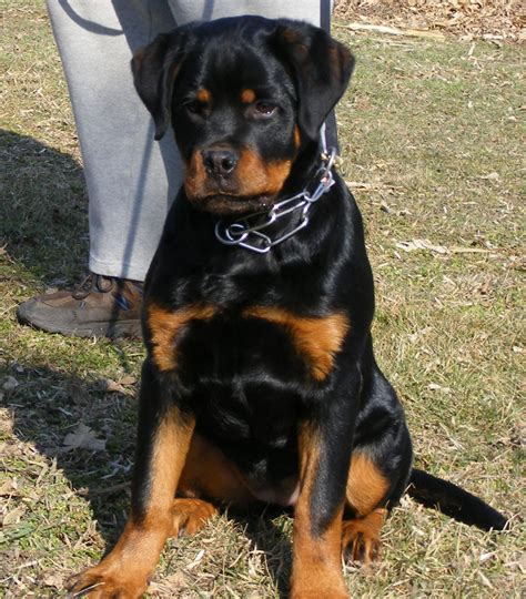 rottweiler weight rottweiler 4 months dogs in our photo