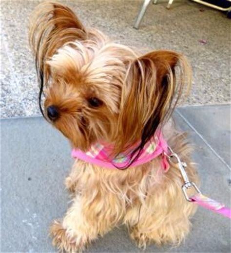 yorkie eye boogers 11 things only terrier owners understand american kennel club