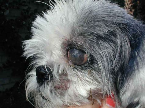 shih tzu eye infection shih tzu has eye discharge decorativestyle org