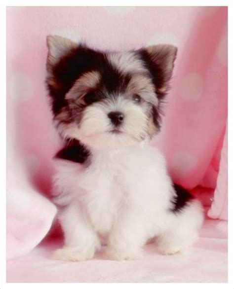 biewer terrier puppies pin by hamilton on puppies