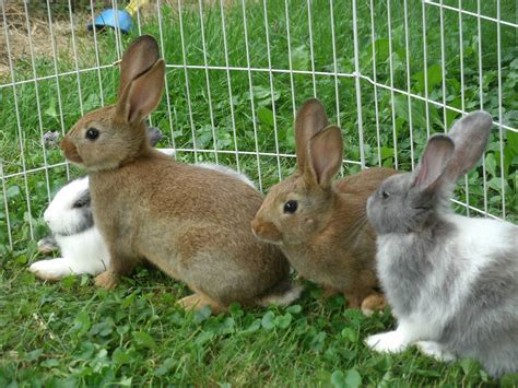 best pet breeds best rabbit breed for house pet home mansion
