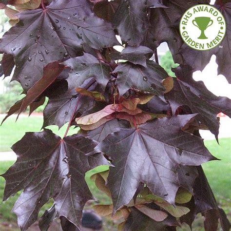 acer platanoides crimson king buy purple norway maple trees