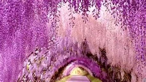flower tunnel japan wonders wisteria flower tunnel japan