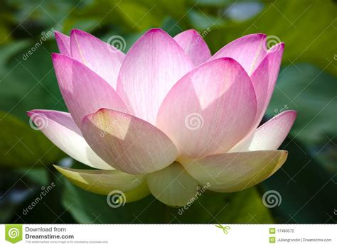flowers bloom pink lotus flower in bloom stock photo image of closeup
