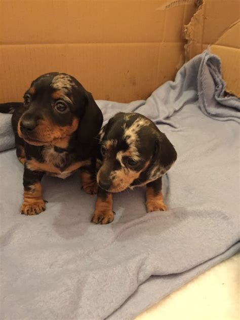 miniature dachshund puppies for sale miniature dachshund puppies for sale colchester essex pets4homes