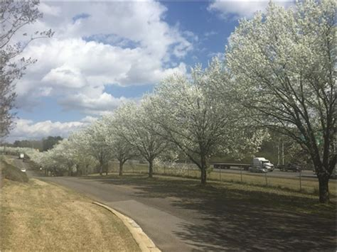 cherry trees blooming on grantswood road irondale al
